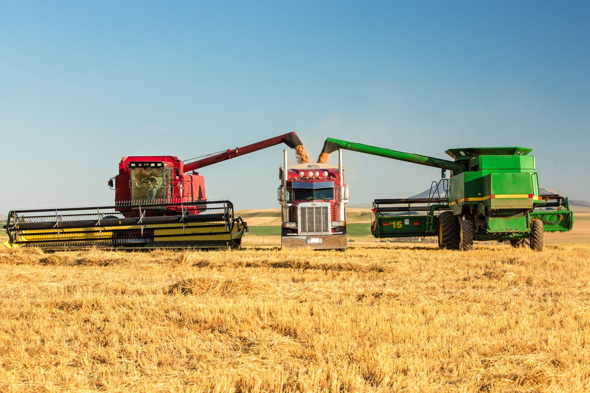 John Deere and Case IH combines are unloading wheat from the grain tanks into a semi-truck.