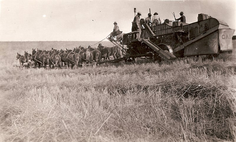 J.I. Case combine and crew with 20-mule team pulling the machine, circa 1900